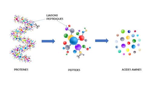 Sur l'image on voit des protéines, des peptides et des acides aminés. Les liaisons peptidiques sont également mises en avant.